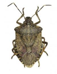 Image of brown marmorated stink bug. Image credit: Milen Marinov
